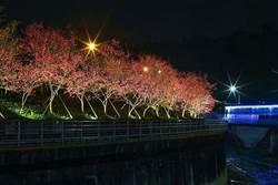 內湖公園賞花趣!八重櫻滿開!晚上夜櫻閃耀綻放