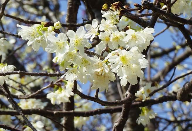 「白色山樱」花色洁白,因由于国人对白色忌讳,几乎被砍伐殆尽,险些灭绝。(王文吉摄)