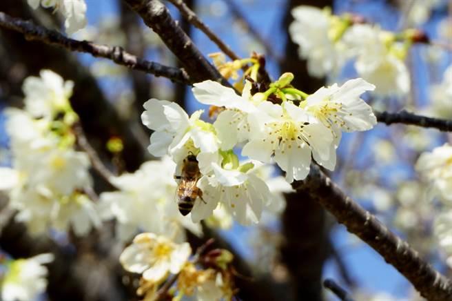 「白色山樱」花形呈吊钟状,满树花朵招蜂引蝶。(王文吉摄)