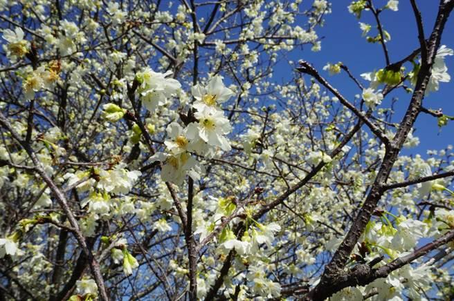 公老坪云仙谷果园内的「白色山樱」开得繁盛,满树粉嫩白花带来极大视觉震憾。(王文吉摄)
