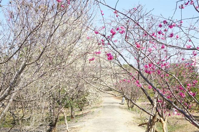 因气候暖冬又缺水,公老坪樱花稀稀落落,花况不如以往壮观。(王文吉摄)