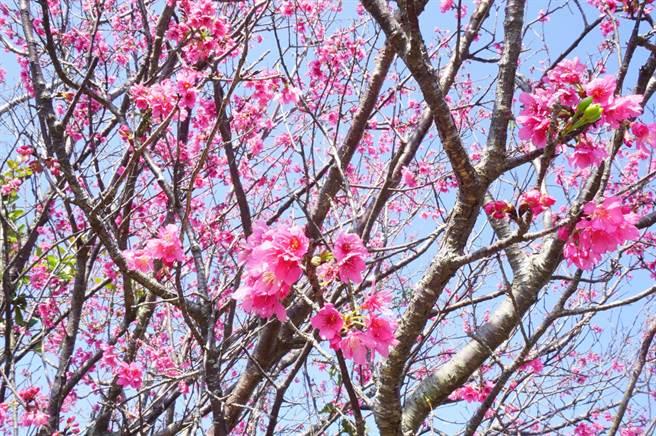 台湾原生种山樱花又称绯寒樱,花色介于紫红至桃红。(王文吉摄)