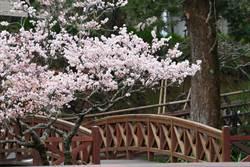 阿里山櫻花季3月9日開展 本周五開放散客劃位