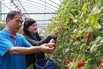 高雄能嘉義太保能 小番茄每周1公噸銷往香港