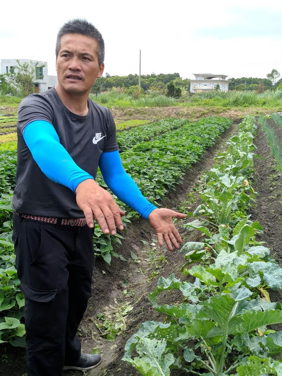 花蓮青農鄒仁芳的菜園外圍種菜作為「天然綠籬」,大方給菜蟲吃。(許家寧攝)
