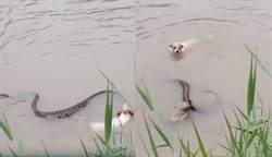 幼犬疑被吞下肚!2猛狗跳入水裡與蟒蛇激戰