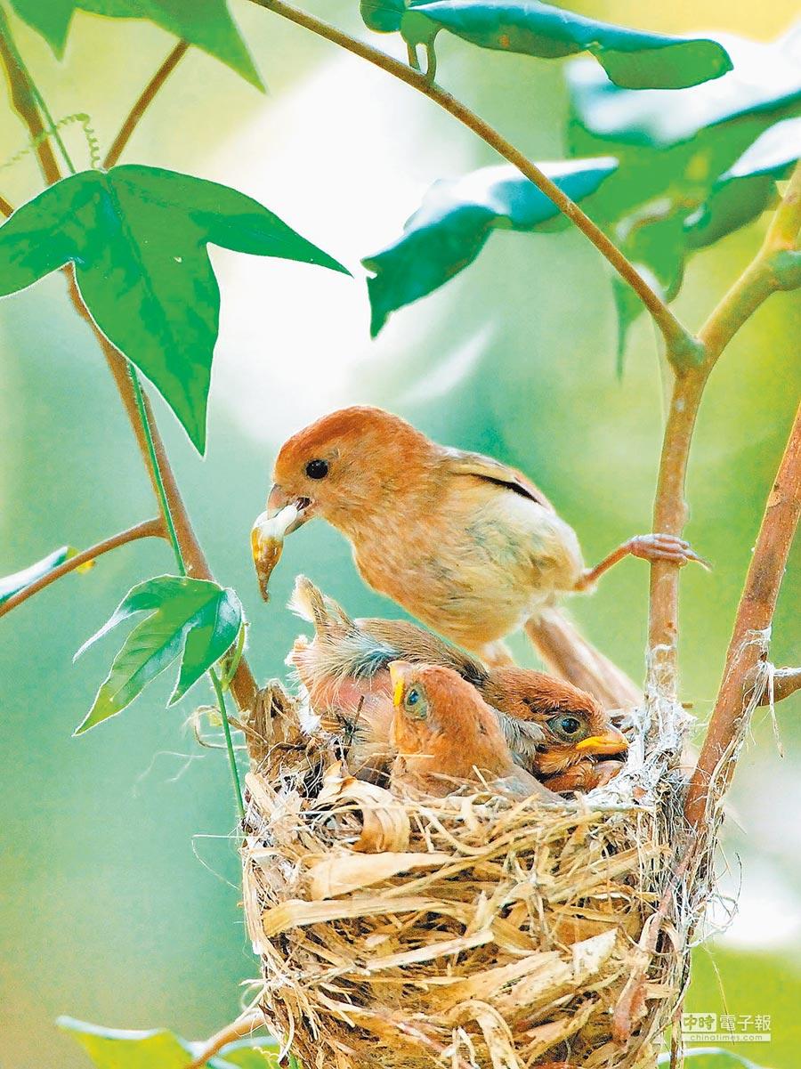 一只粉红鹦嘴正忙着抚育雏鸟。(本报系资料照片)