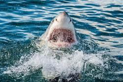 水族館裡看得到鯊魚 為何就是沒有大白鯊?