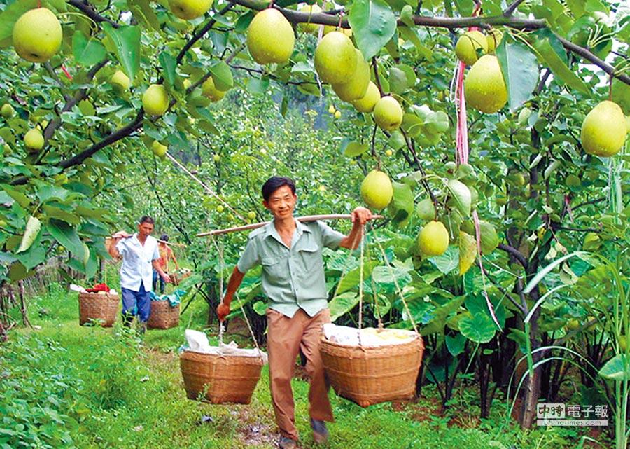 南京農業大學建立世界首個植物重複基因資料庫,收錄梨等141種完成基因組測序的植物。圖為四川羅江果園採收金花梨。(新華社資料照片)