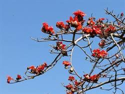 花蓮》木棉花開了 一片橙紅美麗奪目