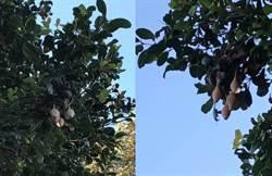 樹上冒出詭異「膚色囊袋」 專家:別隨意觸碰