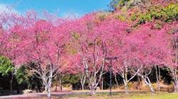 春神來了 奧萬大櫻花三重奏