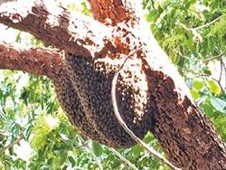 野蜂覓新家 心型大球掛樹幹