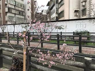 3月櫻竹市正盛開 賞櫻不用到國外
