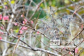 金龍山群蜓歸巢 集體振翅超吸蜻