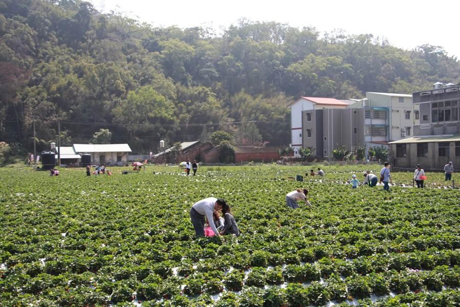 各地遊客利用228連假抵大湖採草莓,體驗農村風情。(何冠嫻攝)