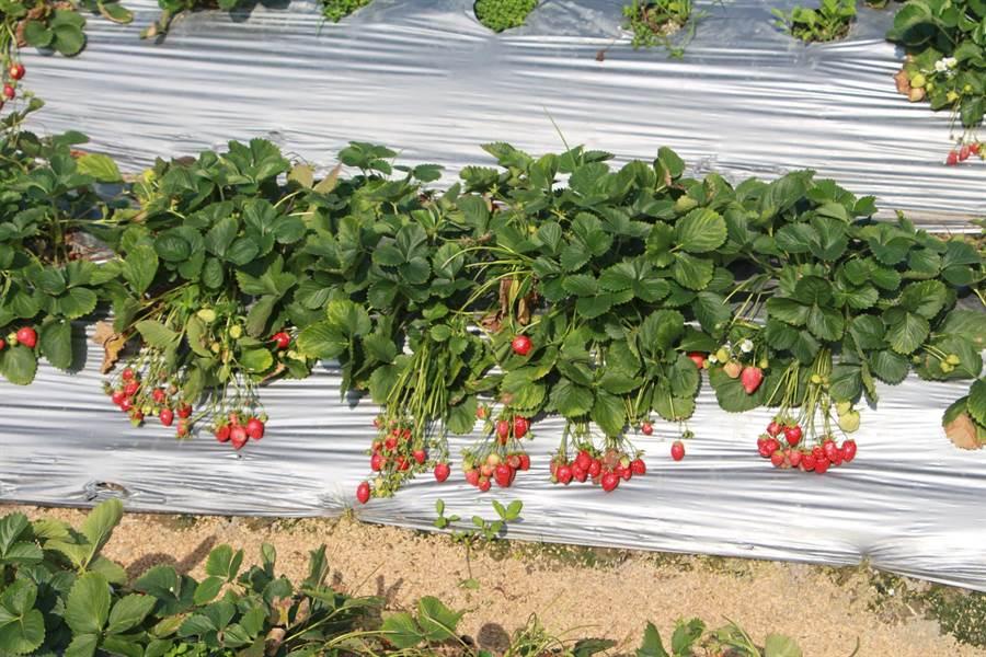 目前大湖草莓約為2期果末與3期果初,每顆鮮果艷紅可口,香氣迷人。(何冠嫻攝)