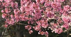 日本踏入3、4月賞櫻旺季!櫻花特色產品吸引買氣