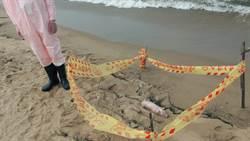 福隆沙灘豬屍 檢驗結果未感染非洲豬瘟