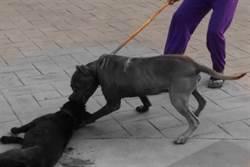 比特犬咬狗2天2起 民眾憂幼童安全