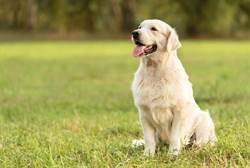 痛心!黃金獵犬遭主人捅百刀 割喉亡