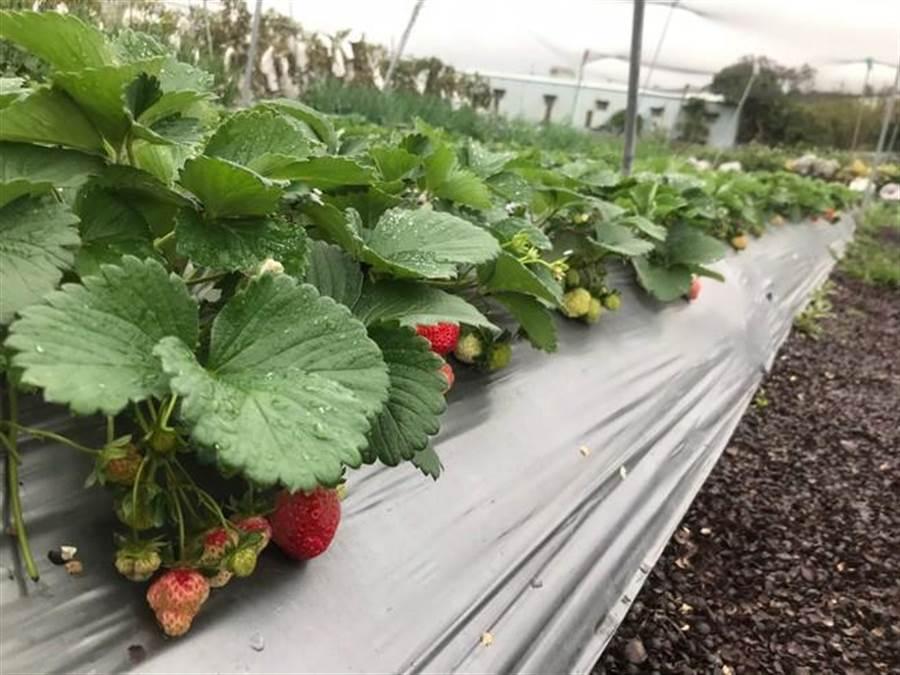 農場內有機草莓為桃園4號品種。(新北市農業局提供)