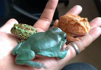 圓胖樹蛙超療癒  變辦公室心理醫師