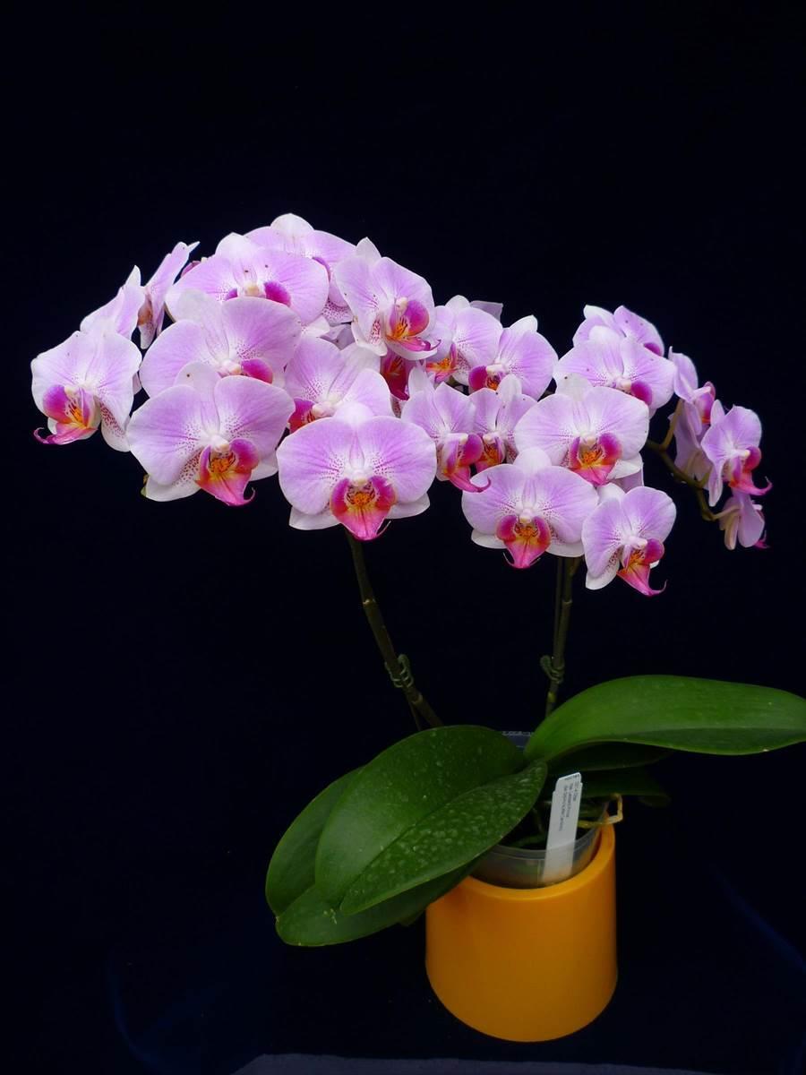 蝴蝶蘭「花蓮1號─粉蘋果」單株雙梗個體。(花改場提供)