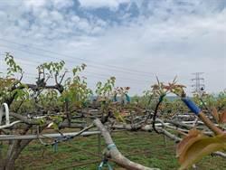 暖冬殘害 高接梨穗受害面積逾600公頃