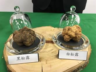 世界新種! 林試所發表台灣第一白松露「深脈」