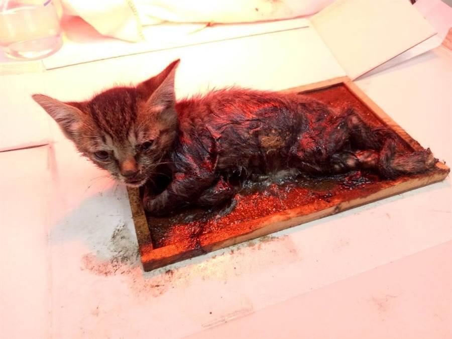 一隻虎斑色小貓日前被民眾牟華發現受困於黏鼠板上奄奄一息。(葉書宏翻攝)