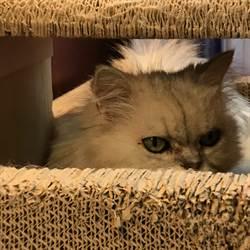咖啡廳萌貓表情超兇狠 網驚:混過幫派?