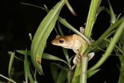 關注本土生態 黃金蝙蝠館展開入侵蛙種移除