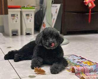 流浪貴賓犬有新家 「阿福」盼找到真幸福
