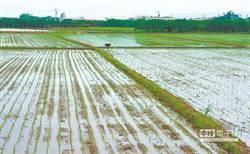 中研院找到水稻抗淹水密技 助稻農挺過天災