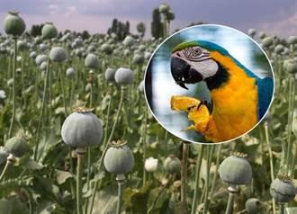鸚鵡也染毒癮 罌粟農民損失慘重求鳥快戒毒