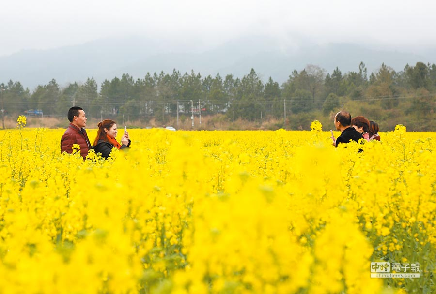 大陸海關總署要求加強加拿大油菜籽檢疫。圖為江西省某油菜花基地油菜花盛開。(中新社)