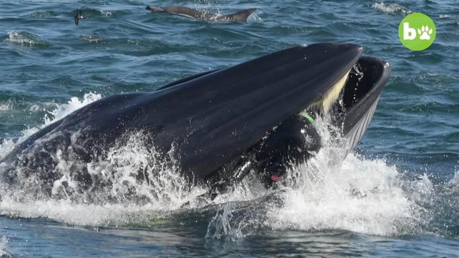 鯨魚浮出水面含住攝影師!眾人嚇呆3秒後笑翻(圖/翻攝自影片)