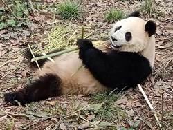 迎嬌客 大陸貓熊「雄雄」與「融融」可望到高雄