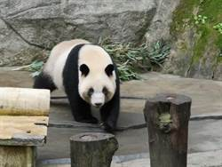 影》大貓熊雄雄與融融來台 陸委會:可循台北動物園模式