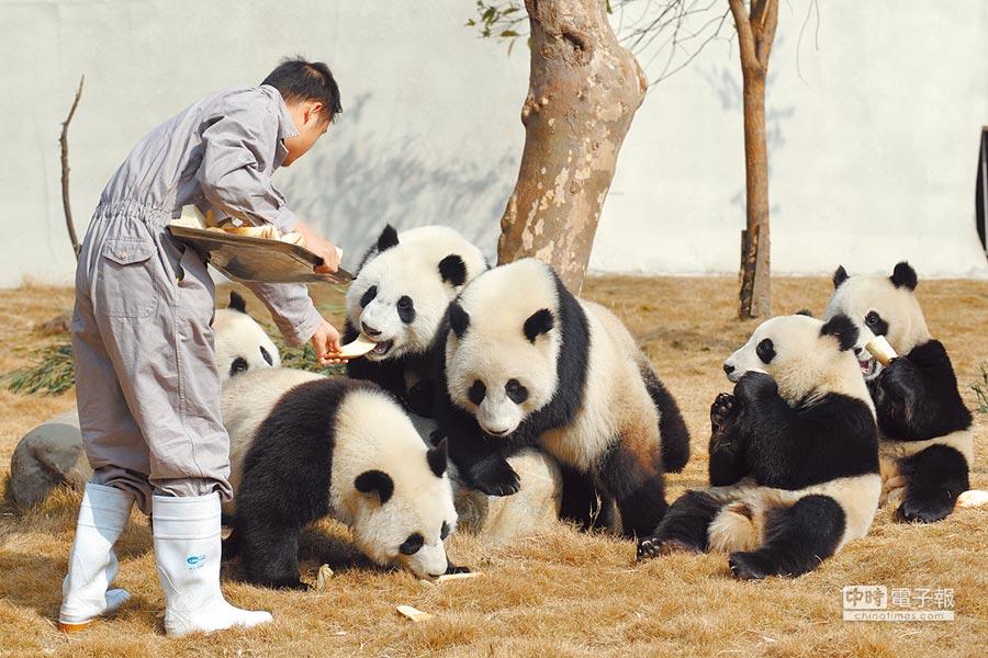 大陸人大代表、台聯副會長許沛表示,歡迎高雄市長韓國瑜訪陸,她將在兩會建議「向高雄市贈送大貓熊」。圖為大陸成都大貓熊基地,工作人員正在餵貓熊寶寶吃飯。(新華社)
