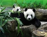 貓熊不能引進原因曝光!李富城二句話打臉蘇貞昌