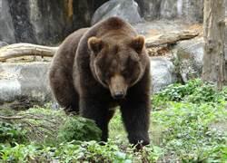 天氣變冷棕熊最知道!老是夢「周公」睡到自然醒