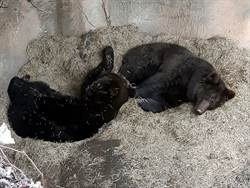 天冷棕熊睡整天 大喬、小喬萌度破表