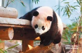 遭竹筍K、牙齦出血 成都動物園疑虐「老貓熊」
