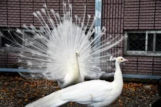 校園白孔雀開屏   學生相信會帶來好運