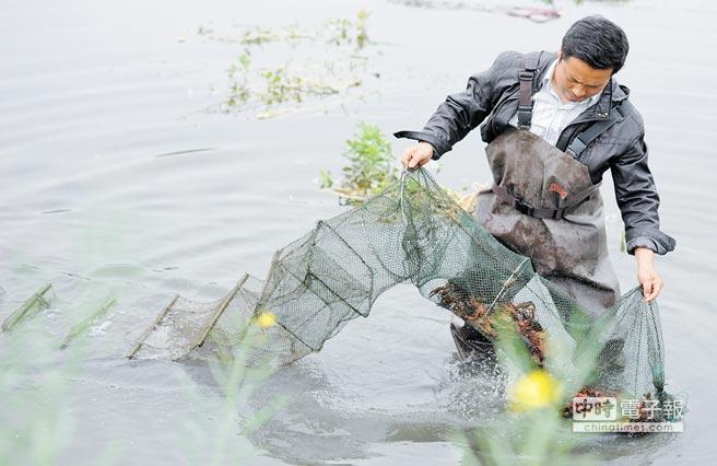 龍蝦種植養殖需要專業技術。圖為湖北潛江市的「蝦稻連作」模式養殖小龍蝦。(新華社資料照片)