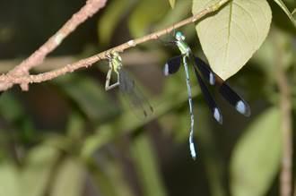 長痣絲蟌扭腰、搖屁股、互追逐 蜻蛉進入活躍期