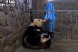 貓熊媽緊抱寶寶!飼育員一招讓牠秒忘兒 網笑翻