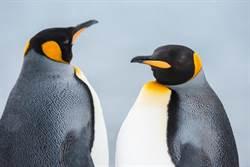 國王企鵝「把妹怪招」 除了換毛還會換鳥嘴!